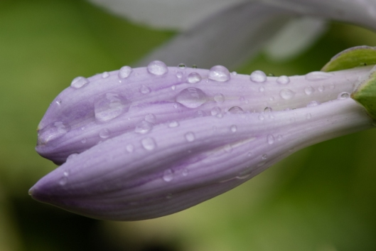 Raindrops on Lily Buds